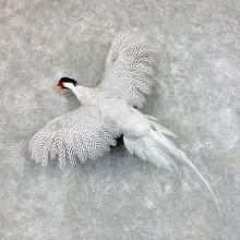 Silver Pheasant Taxidermy Bird Mount #22807 For Sale @ The Taxidermy Store