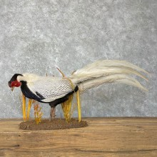 Silver Pheasant Taxidermy Bird Mount #24137 For Sale @ The Taxidermy Store