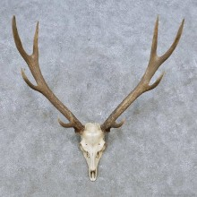 Sika Deer Skull & Antler European Mount For Sale