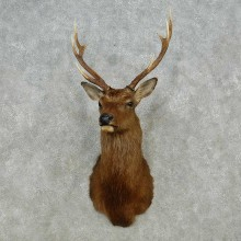 Sika Deer Shoulder Mount For Sale #14563 @ The Taxidermy Store
