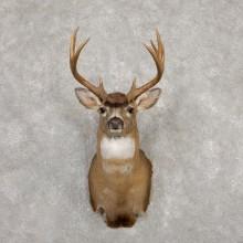 Sitka Blacktail Deer Shoulder Mount For Sale #19922 For Sale @ The Taxidermy Store