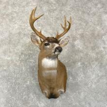 Sitka Blacktail Deer Shoulder Taxidermy Mount For Sale