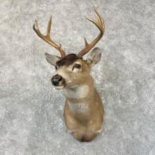 Sitka Blacktail Deer Shoulder Mount For Sale #25200 For Sale @ The Taxidermy Store