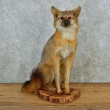 Gray Fox Sitting Taxidermy Mount #12674 For Sale @ The Taxidermy Store