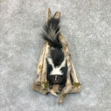 Skunk Half Life-Size Taxidermy Mount #22462 For Sale @ The Taxidermy Store
