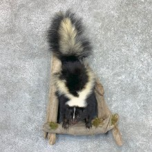 Skunk Half Life-Size Taxidermy Mount #22463 For Sale @ The Taxidermy Store