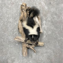 Striped Skunk Half Life-Size Taxidermy Mount For Sale