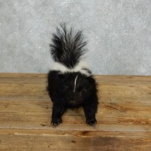 Life-Size Skunk Taxidermy Mount #18265 For Sale @ The Taxidermy Store