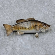 Smallmouth Bass Taxidermy Fish Mount #13874 For Sale @ The Taxidermy Store