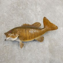 Smallmouth Bass Fish Mount For Sale #20897 @ The Taxidermy Store