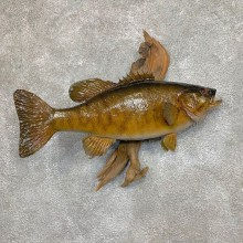 Smallmouth Bass Fish Mount For Sale #23674 @ The Taxidermy Store