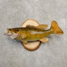 Smallmouth Bass Taxidermy Fish Mount #20585 For Sale @ The Taxidermy Store