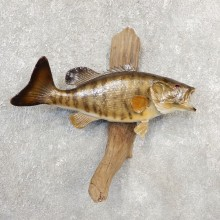 Smallmouth Bass Taxidermy Fish Mount #21095 For Sale @ The Taxidermy Store