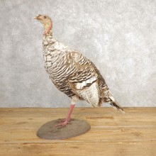 Smokey-Grey Turkey Hen Bird Mount For Sale #21010 @ The Taxidermy Store