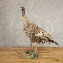 Smokey-Grey Turkey Hen Bird Mount For Sale #21384 @ The Taxidermy Store