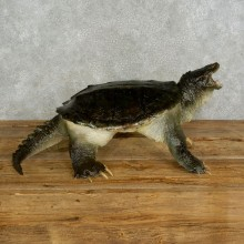 Snapping Turtle Taxidermy Mount For Sale - #17052