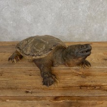 Snapping Turtle Taxidermy Mount For Sale - #20321