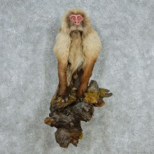 Japanese Macaque Taxidermy Mount #13067 For Sale @ The Taxidermy Store