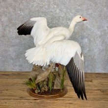 Snow Goose Bird Mount For Sale #23535 @ The Taxidermy Store
