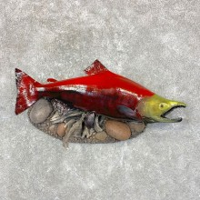 "31.25"" Spawning Phase Sockeye Salmon Taxidermy Mount For Sale"