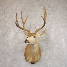 Sonora Desert Mule Deer Shoulder Mount For Sale #22183 @ The Taxidermy Store