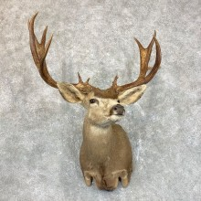 Sonora Desert Mule Deer Shoulder Mount For Sale #23800 @ The Taxidermy Store