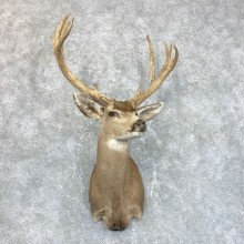 Sonora Desert Mule Deer Shoulder Mount For Sale #23804 @ The Taxidermy Store