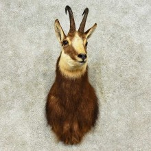 South Pacific Chamois Shoulder Mount For Sale #16180 @ The Taxidermy Store