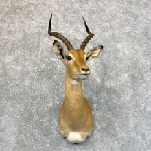South African Impala Shoulder Mount For Sale #23879 @ The Taxidermy Store