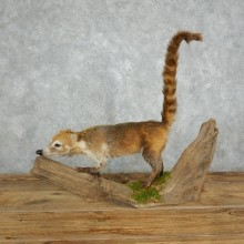 South American Coati Life-Size Mount For Sale #18009 @ The Taxidermy Store