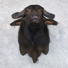 South American Water Buffalo Shoulder Mount For Sale #22147 For Sale @ The Taxidermy Store