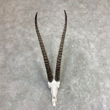 Southern Grants Gazelle Skull European Mount For Sale #21963 @ The Taxidermy Store