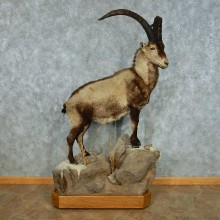 Spanish Ibex Life-Size Taxidermy Mount #13459 For Sale @ The Taxidermy Store