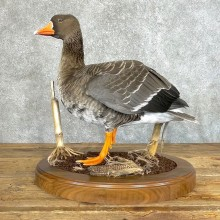Specklebelly Goose Bird Mount For Sale #24219 @ The Taxidermy Store