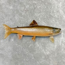 Splake Taxidermy Fish Mount #24396 For Sale @ The Taxidermy Store