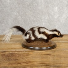 Spotted Skunk Life-Size Taxidermy Mount #21029 For Sale @ The Taxidermy Store