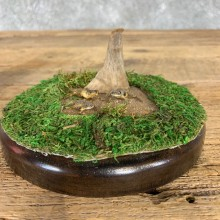 Spring Peeper Taxidermy Mount For Sale #21406 @ The Taxidermy Store