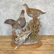 Spruce Grouse Taxidermy Mount For Sale
