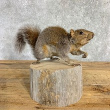 Squirrel Life-Size Mount For Sale #22839 @ The Taxidermy Store
