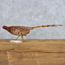 Standing Copper Pheasant Bird Mount For Sale #14141 @ The Taxidermy Store