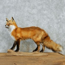 Standing Red Fox Life Size Taxidermy Mount #12952 For Sale @ The Taxidermy Store