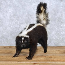 Standing Skunk Taxidermy Mount For Sale #14201 @ The Taxidermy Store