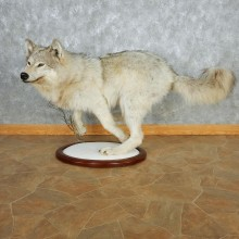 Gray Wolf Life Size Taxidermy Mount #13083 For Sale @ The Taxidermy Store