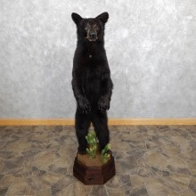 Standing Black Bear Cub Mount #19560 For Sale @ The Taxidermy Store
