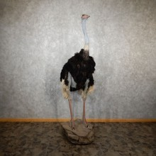 Standing Ostrich Life-Size Mount For Sale #19438 @ The Taxidermy Store