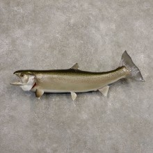 Steelhead Fish Mount For Sale #20343 @ The Taxidermy Store