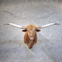 Longhorn Steer Shoulder Mount #11867 For Sale @ The Taxidermy Store