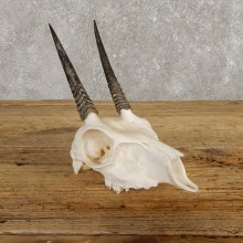 Steinbok Skull European Mount For Sale #19926 @ The Taxidermy Store