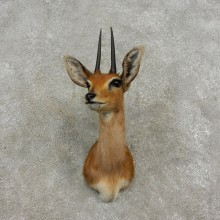 African Steinbok Shoulder Mount For Sale #17339 @ The Taxidermy Store