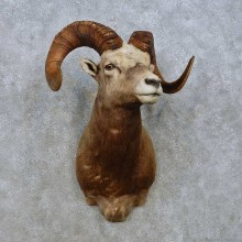 Snow Sheep Shoulder Mount For Sale #15005 @ The Taxidermy Store